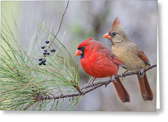 Mr. And Mrs. Redbird In Pine Tree Greeting Card
