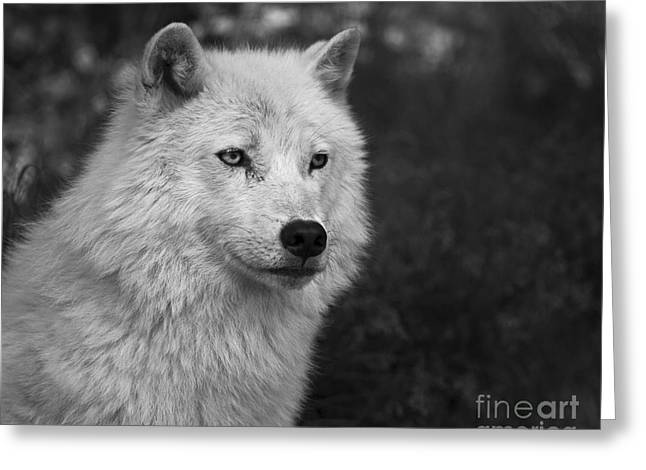 Mr. Arctic Wolf.. Greeting Card
