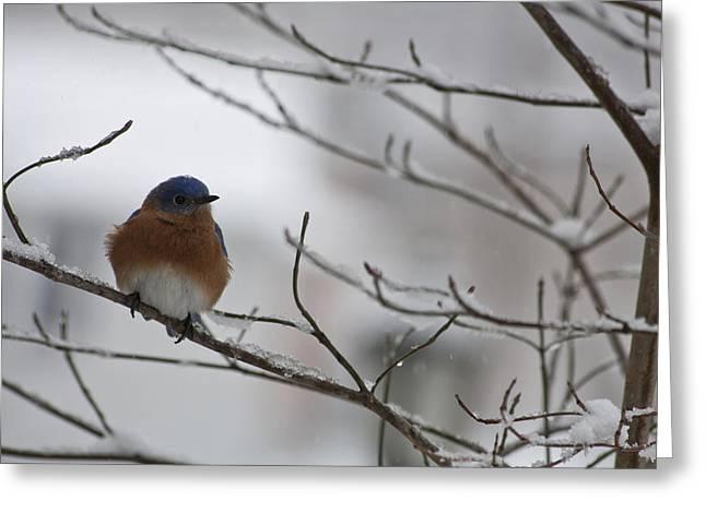 Mr Bluebird Greeting Card by Teresa Mucha