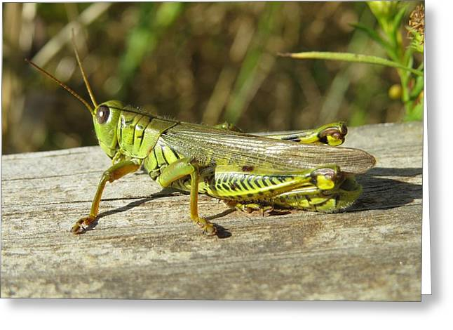 Greeting Card featuring the photograph Mr. Grasshopper by Nikki McInnes