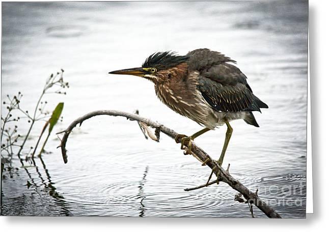 Mr. Green Heron Greeting Card