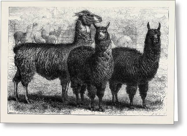 Mr. Ledgers Alpacas And Llamas At Sophienburg The Seat Of Mr Greeting Card by English School
