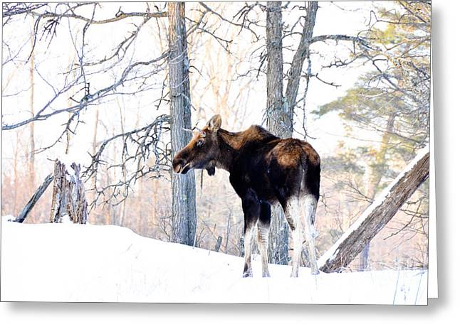 Mr. Moose Greeting Card by Cheryl Baxter