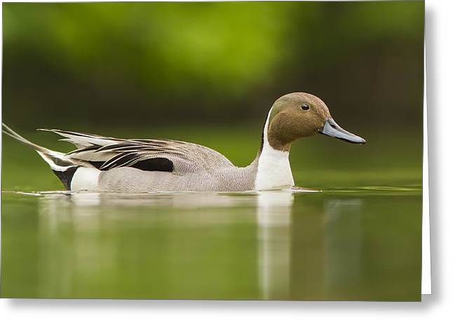 Mr Pintail  Greeting Card by Mircea Costina Photography