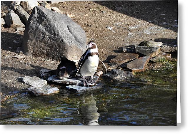 Mr Popper's Penguins Greeting Card by Bill Cannon