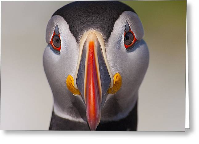 Mr. Puffin.. Greeting Card