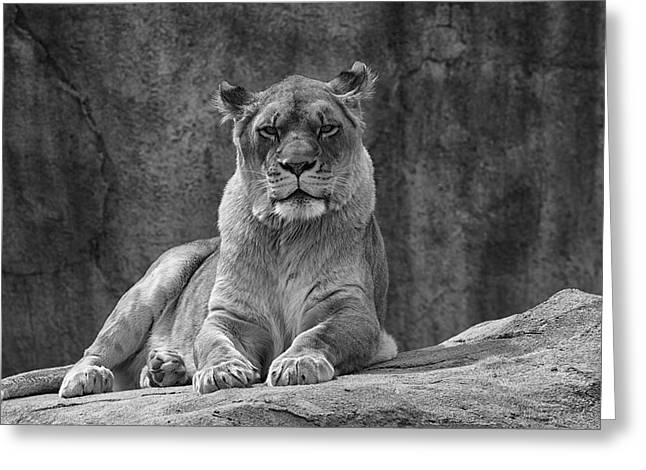 Ms Lioness Greeting Card