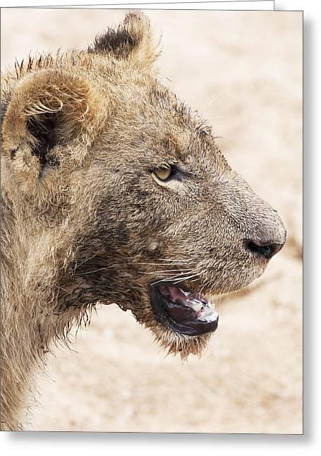 Muddy Little Lion Cub Greeting Card by Sean McSweeney