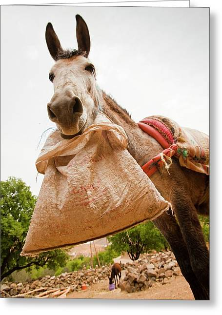 Mule Greeting Card by Ashley Cooper