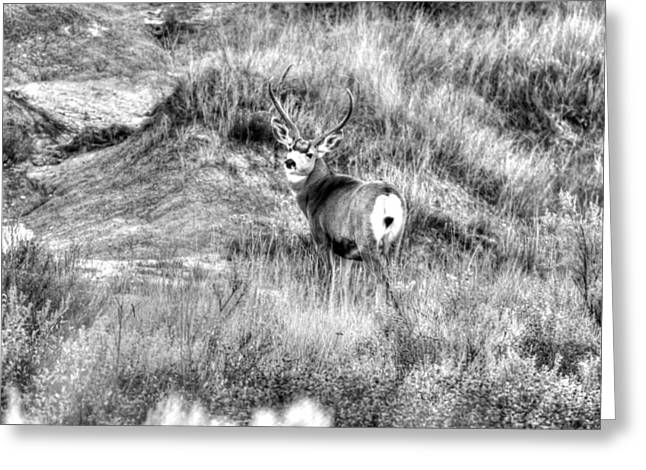 Greeting Card featuring the photograph Mule Buck B/w by Kevin Bone