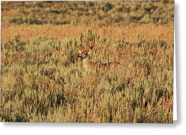 Mule Deer Buck In Velvet Greeting Card by Daniel Hebard
