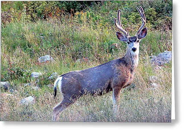 Greeting Card featuring the photograph Mule Deer Buck by Karen Shackles