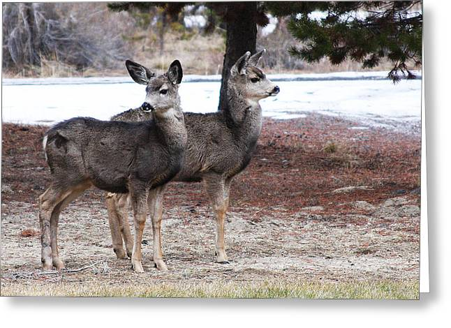 Greeting Card featuring the photograph Mule Deer Fawns by Jennifer Muller