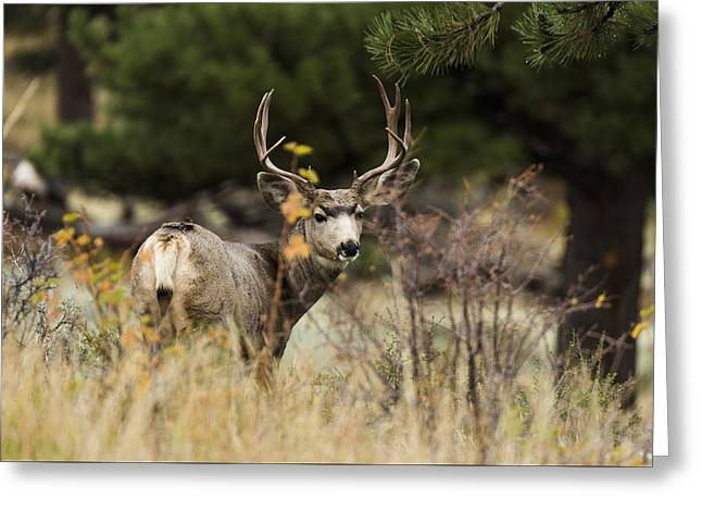 Mule Deer I Greeting Card by Chad Dutson