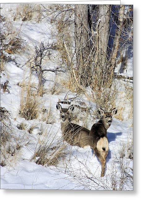 Mule Deer In The Canyon Greeting Card by Marta Alfred