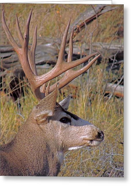 Greeting Card featuring the photograph Mule Deer by Lynn Sprowl