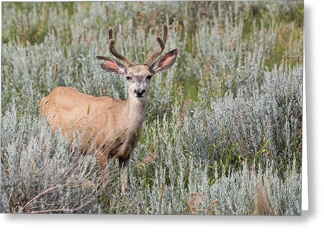 Mule Deer Greeting Card