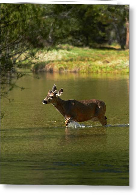 Mule Deer (odocoileus Hemionus Greeting Card