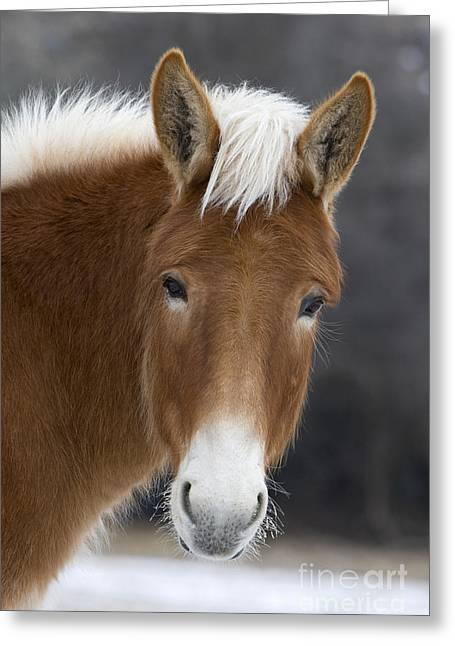 Mule Greeting Card by Jean-Louis Klein and Marie-Luce Hubert