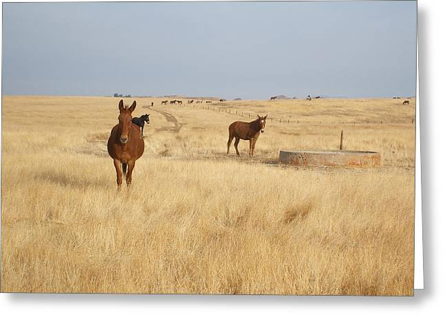 Mules In Gold Grass Greeting Card