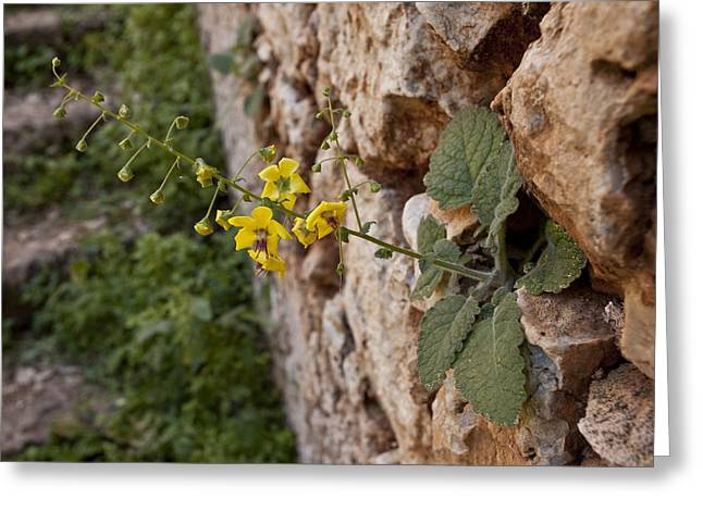 Mullein (verbascum Arcturus) Greeting Card by Science Photo Library