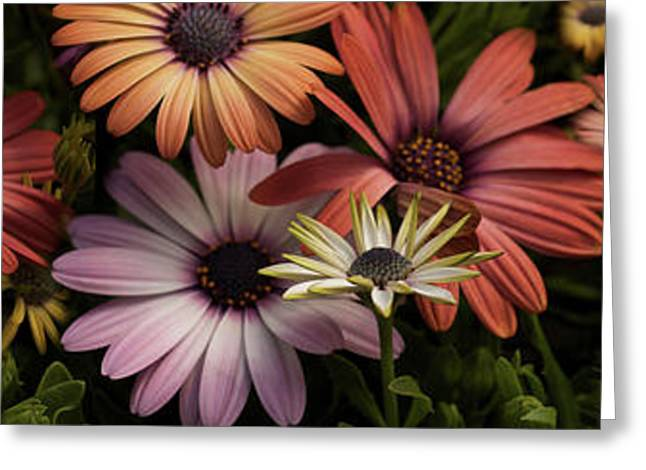 Multi-colored Daisy Flowers Greeting Card by Panoramic Images