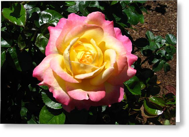 Greeting Card featuring the photograph Multicolor Rose by Bill Woodstock