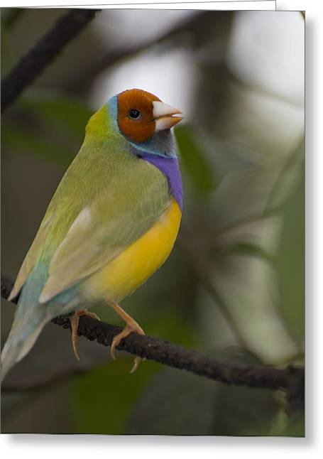 Multicolored Beauty Greeting Card by Penny Lisowski