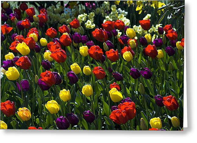 Multicolored Tulips At Tulip Festival. Greeting Card