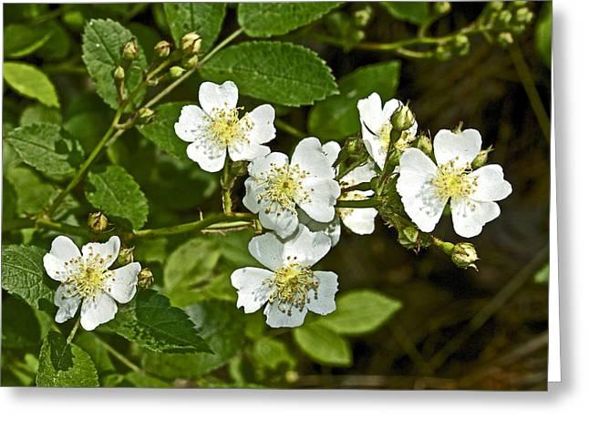 Multiflora Rose - Dog Roses - Rosa Multiflora - Wildflower Greeting Card by Mother Nature