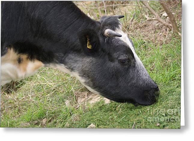 Munching Cow 2 Greeting Card by Carol Lynch