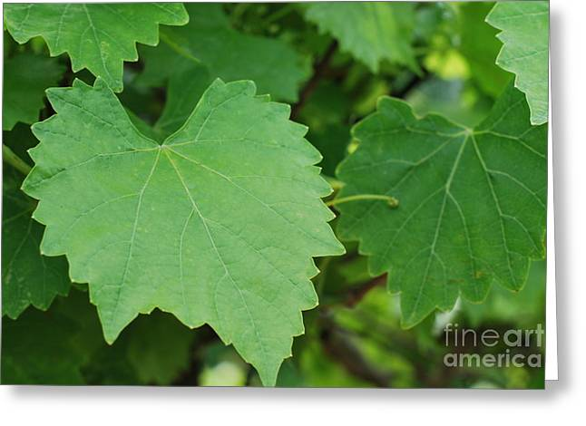 Muscadine Leaves Greeting Card by Gayle Melges