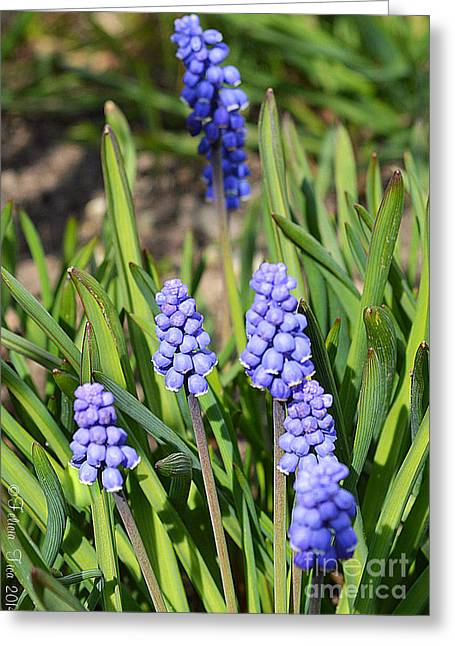 Muscari Armeniacum Greeting Card