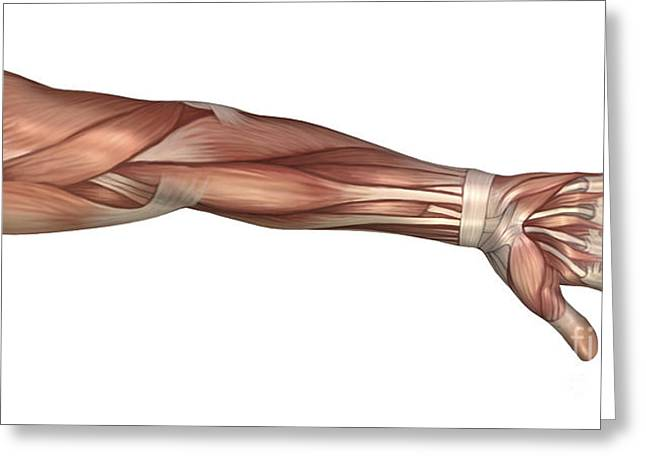 Muscle Anatomy Of The Human Arm Greeting Card by Stocktrek Images