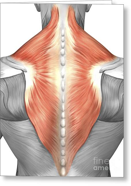Muscles Of The Back And Neck Greeting Card by Stocktrek Images