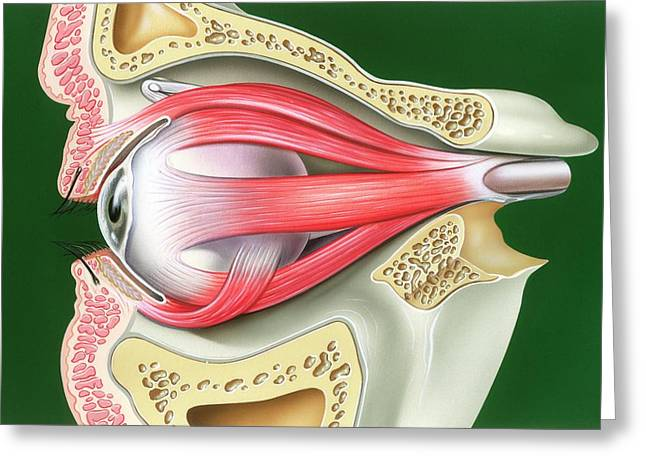 Muscles Of The Eye Greeting Card by John Bavosi