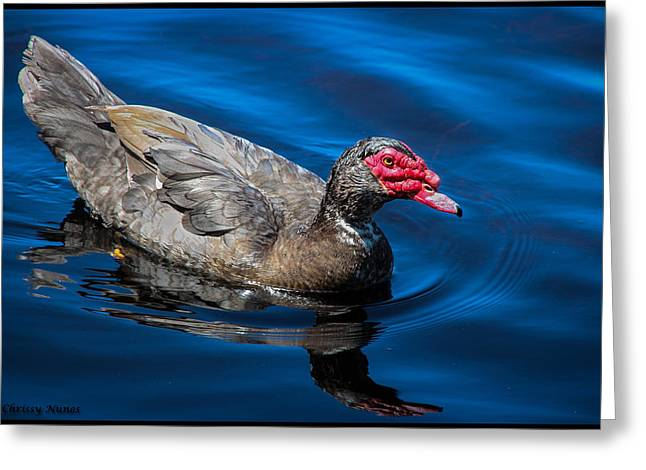 Muscovy Duck Greeting Card by Christine Nunes