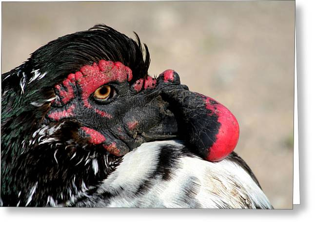 Muscovy Duck With Wattle Greeting Card by Bob and Jan Shriner