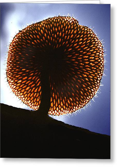 Mushroom Greeting Card by Fred Leavitt