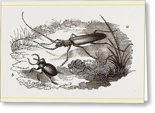 Musk-beetle And Catehweed-beetle Greeting Card