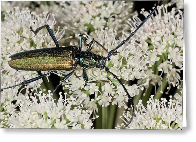 Musk Beetle Feeding On Angelica Flowers Greeting Card