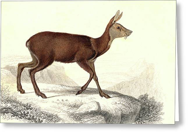 Musk Deer Greeting Card