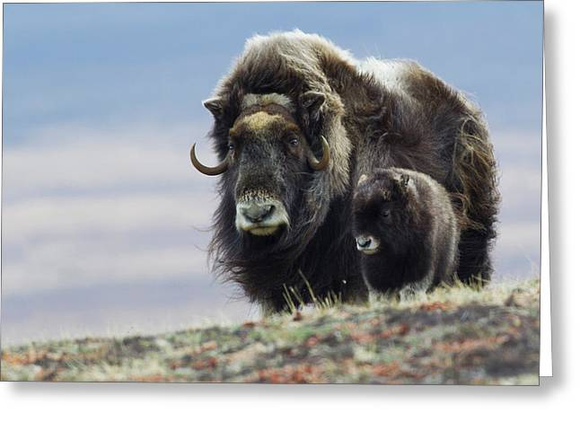 Musk Ox With Calf Greeting Card