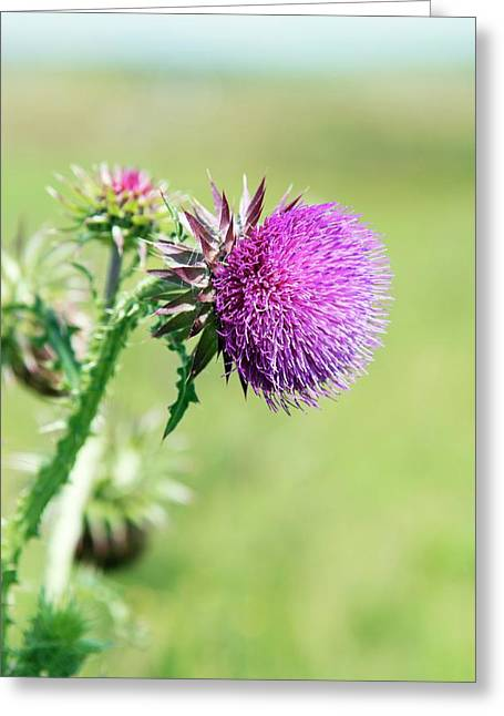 Musk Thistle (carduus Nutans) Greeting Card