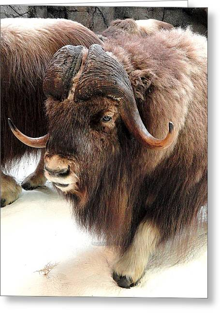 Muskox Greeting Card by Mary Beth Landis