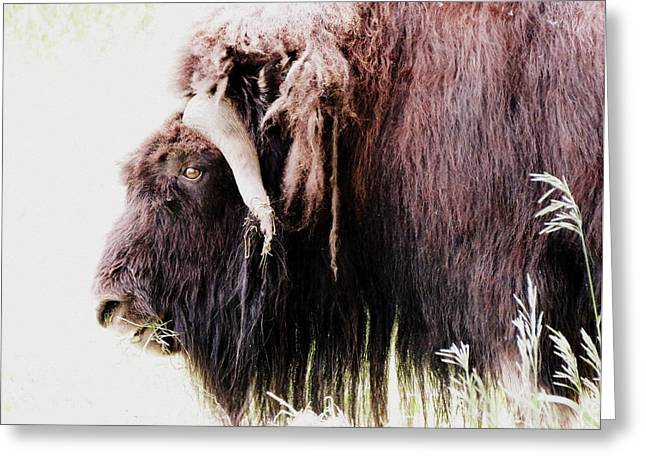 Muskox Greeting Card