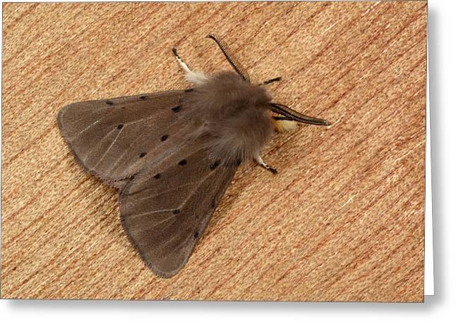 Muslin Moth Greeting Card by Nigel Downer