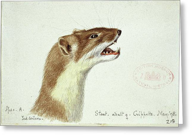 Mustela Erminea Greeting Card by Natural History Museum, London