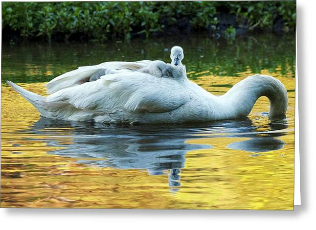 Mute Swan And Cygnets Greeting Card by Alex Hyde