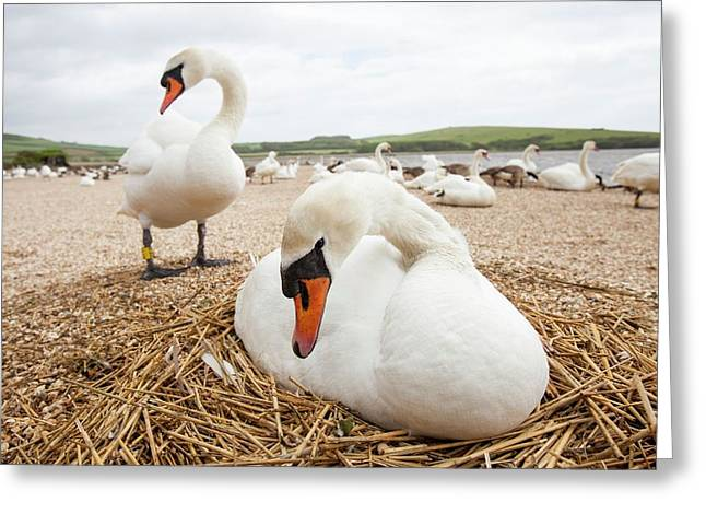 Mute Swan Greeting Card by Ashley Cooper